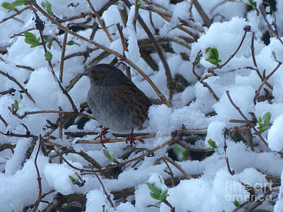 Photograph - Dunnock In Snow by Phil Banks