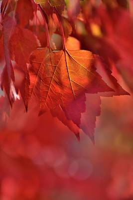 Photograph - Duo Maple Leaf by Jerry Sodorff