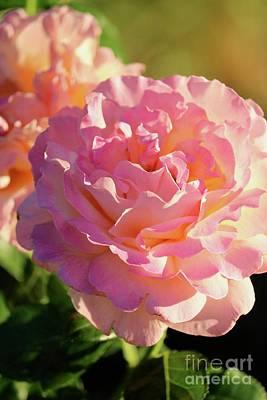 Photograph - Dusky Roses by Carol Groenen