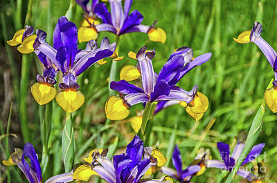 Photograph - Dutch Iris In Purple And Yellow by Sue Smith