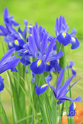 Photograph - Dutch Iris 'professor Blaauw' Flowers by Tim Gainey