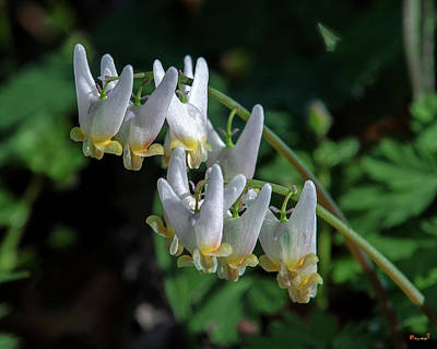 Photograph - Dutchmans Breeches Dfl0955 by Gerry Gantt