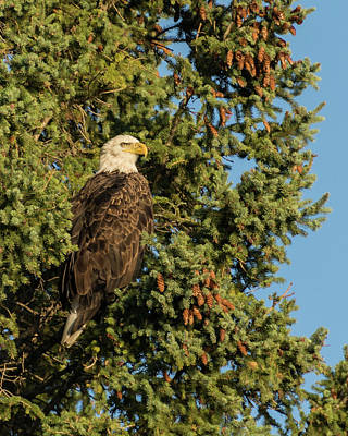 Photograph - Eagle 2018-2 by Bear Paw Resort Photography