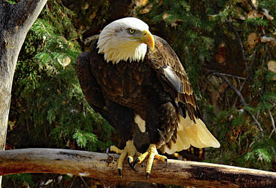 Photograph - Eagle Alert by Frank Vargo