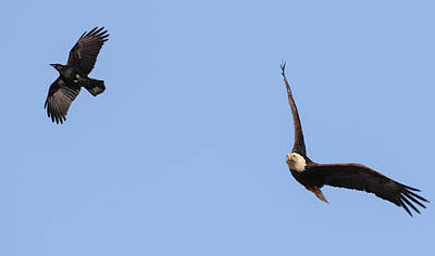 Photograph - Eagle And Crow  by Richard Kopchock