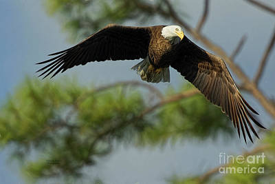 Photograph - Eagle Flight 1 by Deborah Benoit
