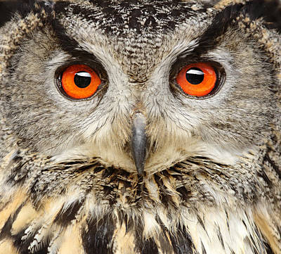 Bird Photograph - Eagle Owl Close Up by Andyworks