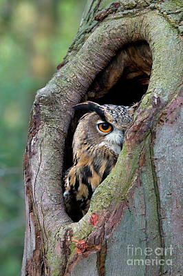 Photograph - Eagle Owl Peering From Nest Cavity by Rob Reijnen