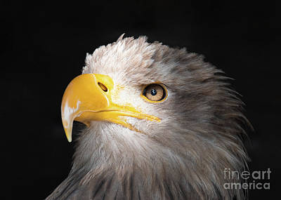 Eagle Portrait Art Print