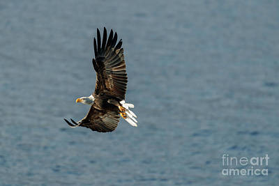 Photograph - Eagle Season II by Beve Brown-Clark Photography