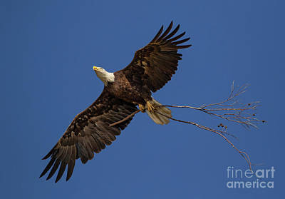 Photograph - Eagle Snag by Beth Sargent