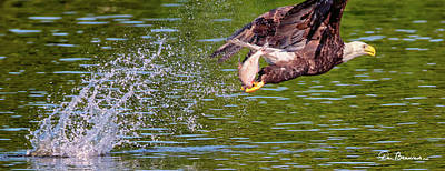 Dan Beauvais Royalty-Free and Rights-Managed Images - Eagle With Catch 1198 by Dan Beauvais