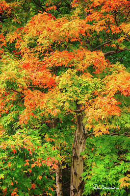 Dan Beauvais Royalty Free Images - Early Fall Maple 2212 Royalty-Free Image by Dan Beauvais