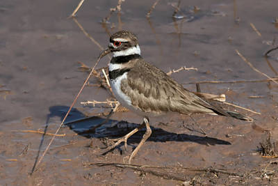 Photograph - Early Killdeer Gets The Worm by Kathleen Bishop