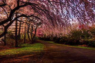 Photograph - Early Morning Cherry Blossoms by Anthony Sacco