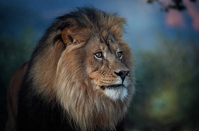 Photograph - Early Morning Lion Portrait by Gloria Anderson