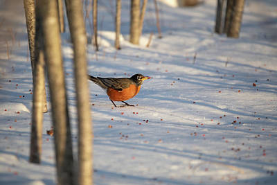 Photograph - Early Robin Gets The Sumac by Brian Hale