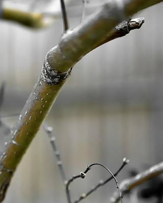 Photograph - Early Winter Branch by Jerry Sodorff