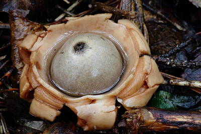 Photograph - Earthstar by Daniel Reed