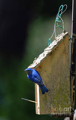 Photograph - Eastern Blue Bird - Bird House by Dale Powell
