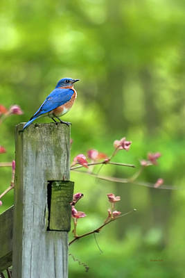 Birds Royalty-Free and Rights-Managed Images - Eastern Bluebird by Christina Rollo