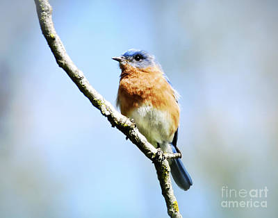 Photograph - Eastern Bluebird Male  by Kerri Farley