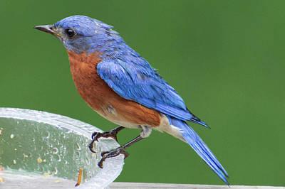 Photograph - Eastern Bluebird by Randy Bayne