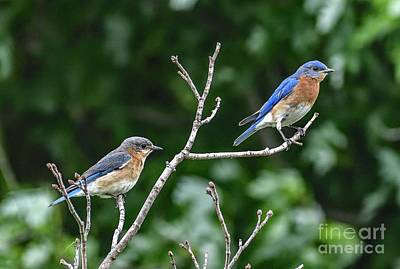 Tina Turner - Eastern Bluebird Royals by Cindy Treger