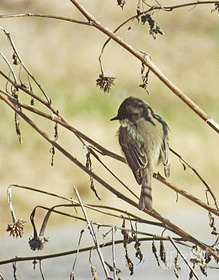 Photograph - Eastern Phoebe 9 by Lizi Beard-Ward