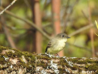 Old Masters - Eastern Phoebe by Betty-Anne McDonald