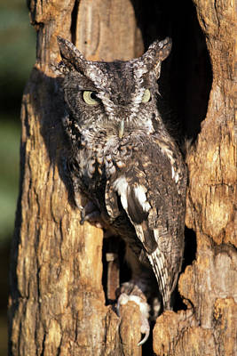 Photograph - Eastern Screech Owl 92515 by Rick Veldman