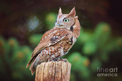 Photograph - Eastern Screech Owl Red Morph by Sharon McConnell