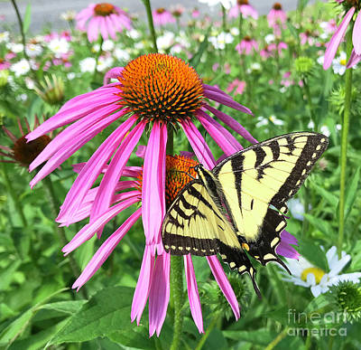 Photograph - Eastern Tiger Swallowtail And Echinacea 14 by Amy E Fraser