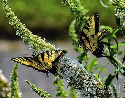 Animals Royalty-Free and Rights-Managed Images - Eastern Tiger Swallowtail Coming In For A Landing by Cindy Treger