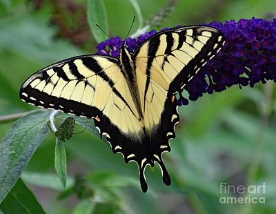 Book Quotes - Eastern Tiger Swallowtail Perfection by Cindy Treger