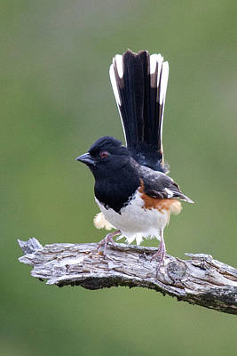 Photograph - Eastern Towhee 50413 by Rick Veldman