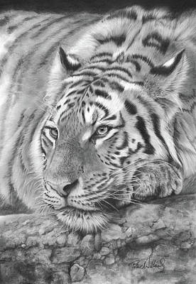 Animals Drawings - Easy Tiger by Peter Williams