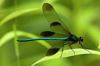 Photograph - Ebony Jewelwing Damselfly Calopteryx by Don Johnston