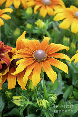 Photograph - Echibeckia Butterscotch Biscuit by Tim Gainey