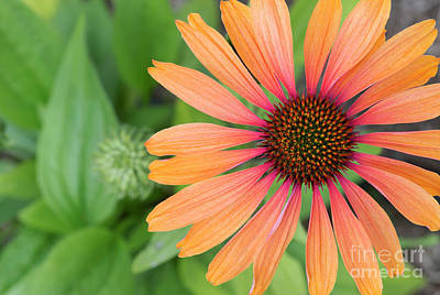 Photograph - Echinacea Hot Summer Flower  by Tim Gainey