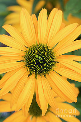 Photograph - Echinacea Now Cheesier Flower by Tim Gainey
