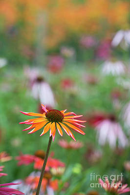 Photograph -  Echinacea Orange Passion Flowering by Tim Gainey