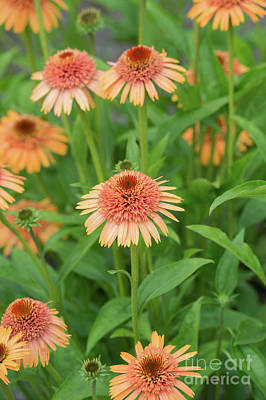 Photograph - Echinacea Supreme Cantaloupe  by Tim Gainey