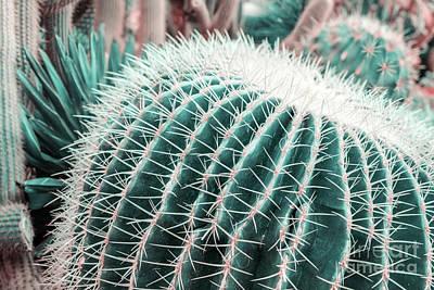 Photograph - Echinocereus Cactus by Marina Usmanskaya