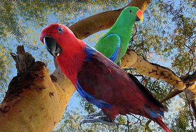 Girl Wall Art - Mixed Media - Eclectus Parrots by Joan Stratton