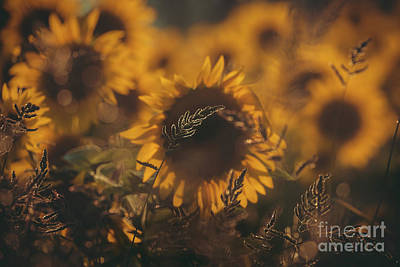 Photograph - Eclipse of the Sunflower by Kim Clune