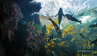 Photograph - Ecosystem In A Kelp-filled Tank by Susan Wiedmann