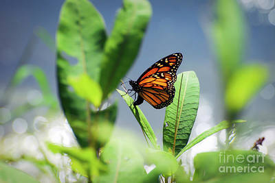 Photograph - Egg Laying Monarch Butterfly by Kerri Farley