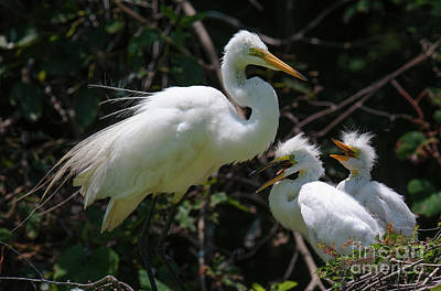 Photograph - Egret Chicks by Dale Powell