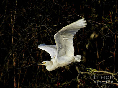 Photograph - Egret Fright by Skip Willits
